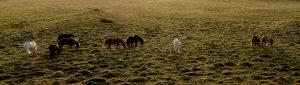 Portada de los servicios de fotografía aérea con Drones. Imagen de caballos islandeses en paraje natural de Islandia | Iceland horses